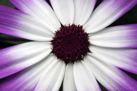 Beautiful blossom of a Dahlia