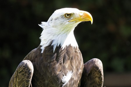 falconry: Bald Eagle in a falconry Stock Photo