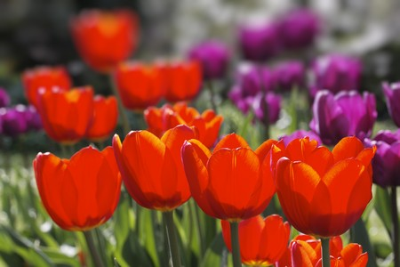 Tulips in the meadow Stock Photo
