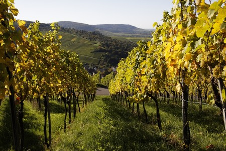 Vineyard with grapeVineyard with grapes, Autumn in the region of Württemberg, Germany Stock Photo