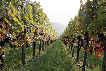Vineyard with grapes, Autumn in the region of Württemberg, Germany Stock Photo