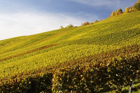 Vineyard on the fall in Stuttgart Germany
