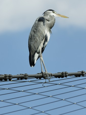 gray herons: Herons on a steel cable Stock Photo
