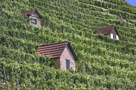 pflanzen: vineyard in bad cannstatt, germany Stock Photo