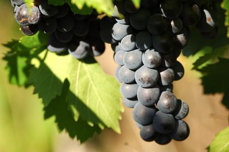 grape vines: wine