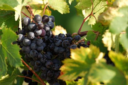 redwine: wine