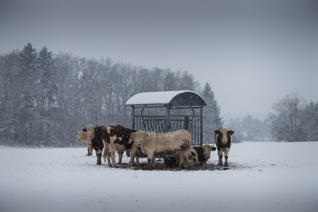 heifers: cow