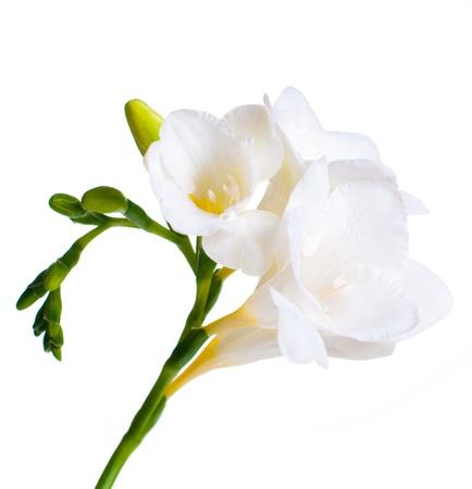 freesia: Close up of white freesia flowers