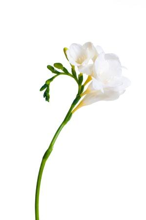 plan éloigné: La branche de freesia blanc avec des fleurs et des bourgeons