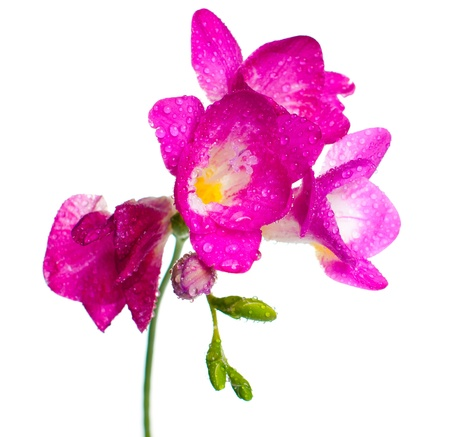A branch of pink freesia with flowers, buds, and water drops