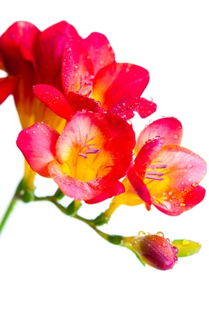 Close up of red and yellow flowers of freesia with water drops photo
