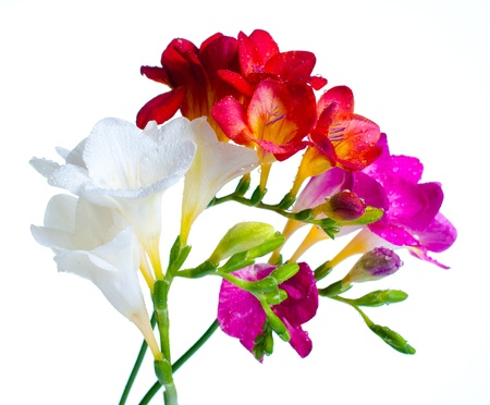 Several branches of multi-colored freesias with water drops Stock Photo - 12467773
