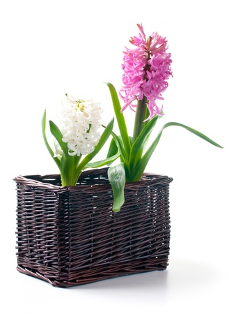 Two hyacinth with leaves in a basket on a white background photo