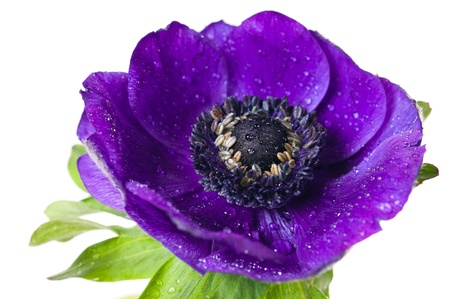 blooming. purple: purple anemone flower closeup on white background Stock Photo