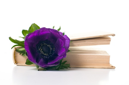 Purple anemone flower in an old book on white background photo