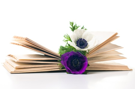 Two anemone flowers in an old book on white background Stock Photo