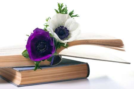 Two anemone flowers in an old book on white background photo