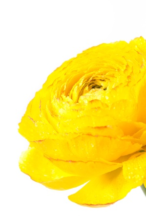 Bright yellow flower closeup on white background photo