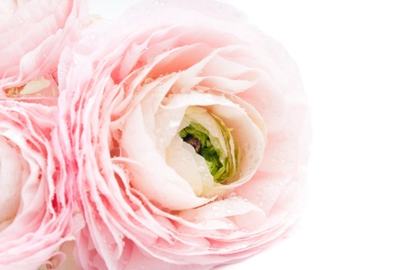 Close up of pink flower on a white background photo