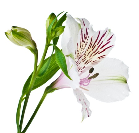 alstroemeria: beautiful fresh Alstroemeria flower closeup, isolated Stock Photo