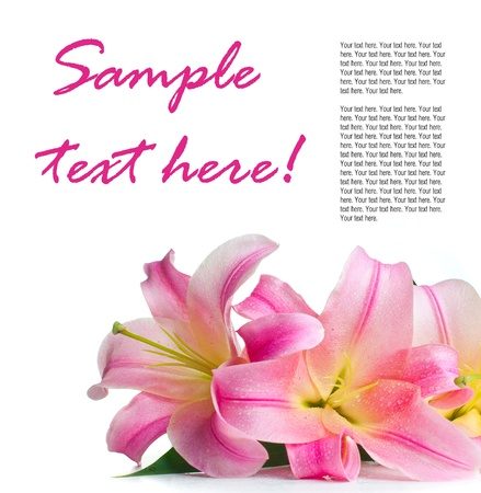 pink lily: bouquet of pink lilies with water drops isolated on white background, ready template