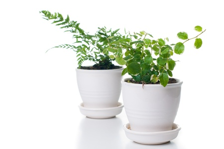 Home plants with green leaves in a white ceramic pot, isolated photo