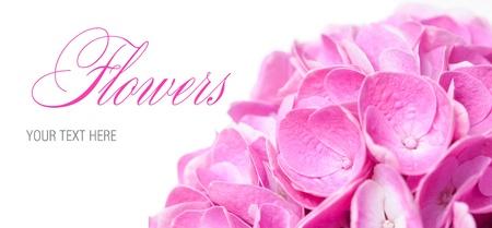 Bloemen achtergrond, bloemen en bloemblaadjes van roze hortensia close-up, macro