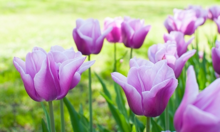 Large bright purple tulips in a flowerbed in city park, close-up
