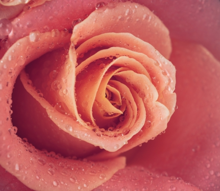 Floral background, flower of fresh wet rose with water drops, close up, macro photo