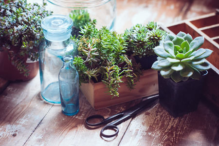 House plants, green succulents, old wooden box and blue vintage glass bottles on a wooden board, home gardening and decorating rustic style. Stok Fotoğraf - 29796570