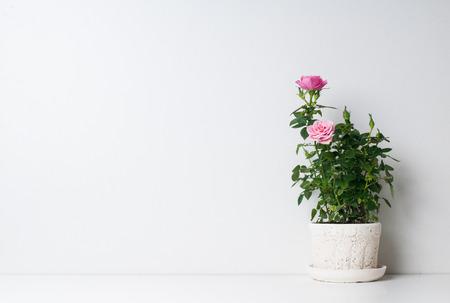 arreglo floral: Rosas en una olla sobre un fondo blanco Foto de archivo