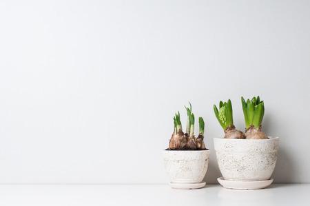 Hyacint en narcis spruiten in keramische potten op een witte muur Stockfoto