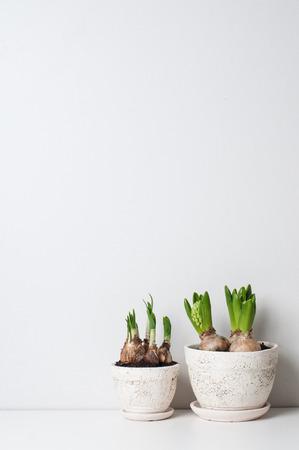 Giacinto e narciso germogli in vasi di ceramica su un muro bianco
