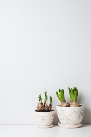 Hyacinth and narcissus sprouts in ceramic pots on a white wall Stock Photo
