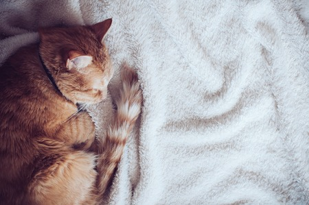 warm home: Big red cat sleeping on a soft beige blanket Stock Photo