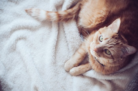 warm home: Big red cat lies on a soft beige blanket, looking up