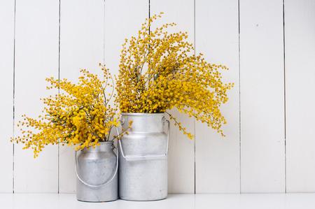 Mimosa žluté jarní květiny ve výběrových hliníkových plechovek na bílém pozadí zdi stodoly