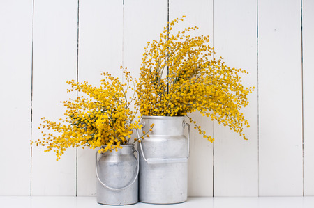 mimosa: mimosa yellow spring flowers in vintage aluminum cans on white barn wall background