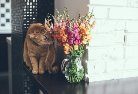 Domestic red cat smelling the flowers in a modern home interior photo