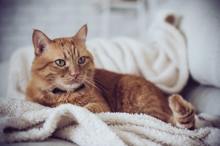 Large home fluffy ginger cat lying on the sofa Reklamní fotografie