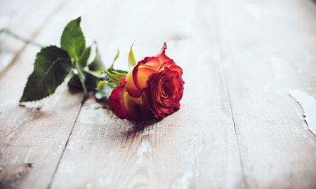 orange rose: Fresh red rose on an old wooden board, vintage background
