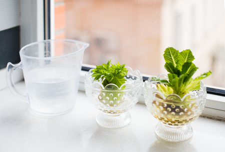 water plants: Regrowing vegetables and greens. Growing celery and lettuce on a windowsill at home. Stock Photo