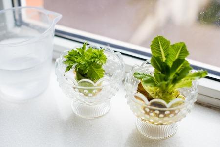 lechugas: Vuelva a crecer hortalizas y verduras. Creciendo el apio y la lechuga en un alféizar de la ventana en casa.