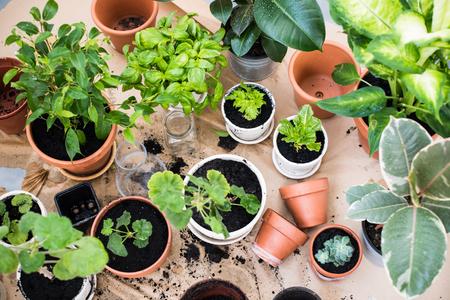 Přírodní rostliny v květináčích, zelené zahrady na balkoně. Urban zahradničení, domácí výsadba.