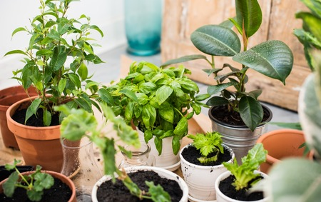 Natural plants in pots, green garden on a balcony. Urban gardening, home planting. Stock fotó - 45684292