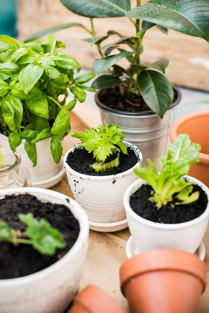 urban gardening: Natural plants in pots, green garden on a balcony. Urban gardening, home planting. Basil and celery regrow.
