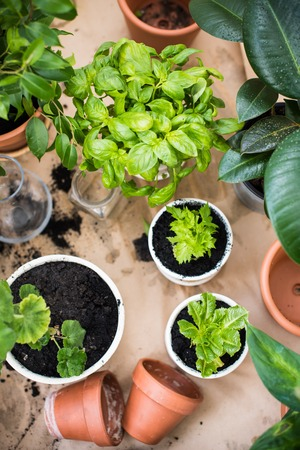 Natural plants in pots, green garden on a balcony. Urban gardening, home planting. Basil and celery regrow.