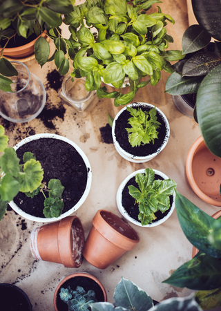 herb garden: Natural plants in pots, green garden on a balcony. Urban gardening, home planting.