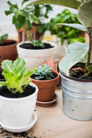 gardening: Natural plants in pots, green garden on a balcony. Urban gardening, home planting.