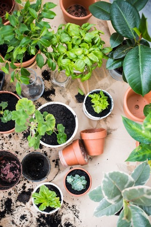 healthy growth: Natural plants in pots, green garden on a balcony. Urban gardening, home planting.